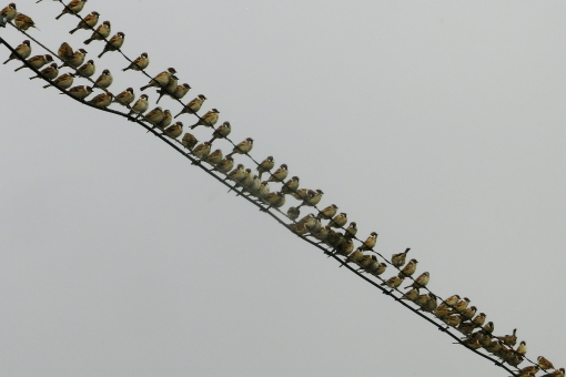 ▲たしかに最近、電線にぎっしり並んだスズメとか見なくなった気がする