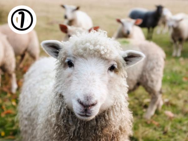1枚目 羊の写真