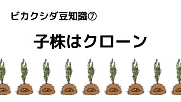 ビカクシダ  子株